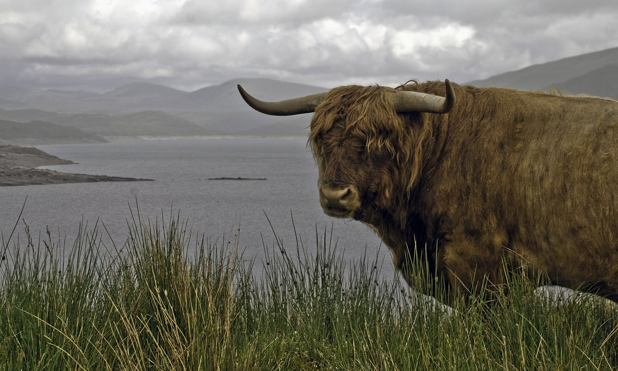 Lochside Highland Bull, Scotland
