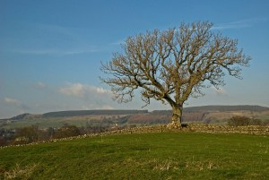 Lone Tree near Romaldkirk, County Durham