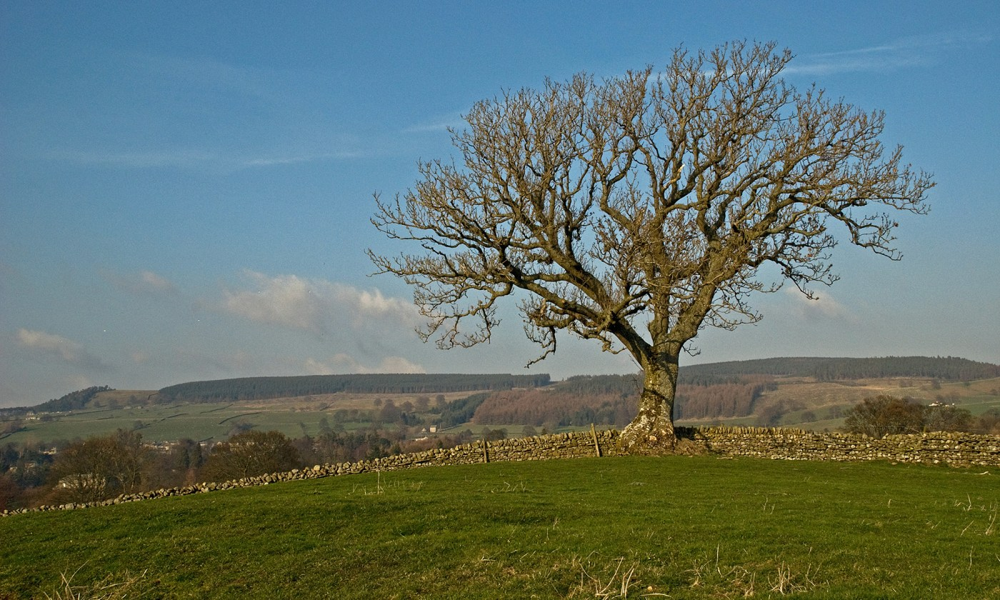 Lone Tree near Romaldkirk, County Durham