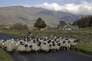 Modern Farmer Hearding Sheep