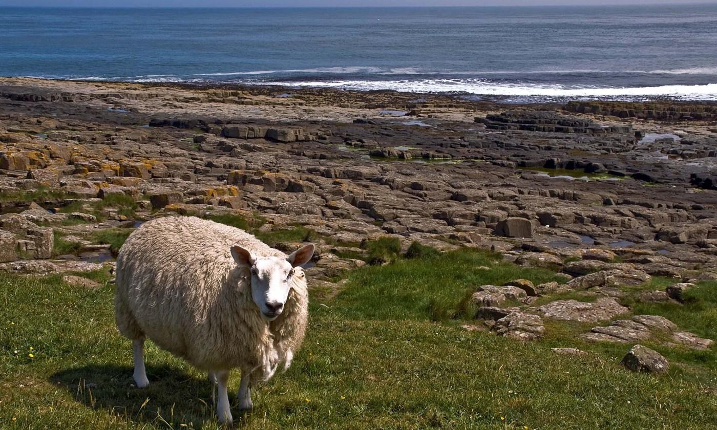 Sheep by the Sea, Northumberland Coast