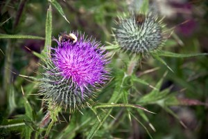 Thistle Flower Detail
