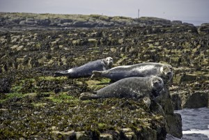 Three Grey Seals on the Farne Islands