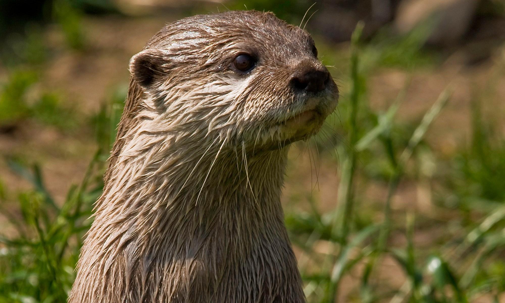 Wet Otter Portrait