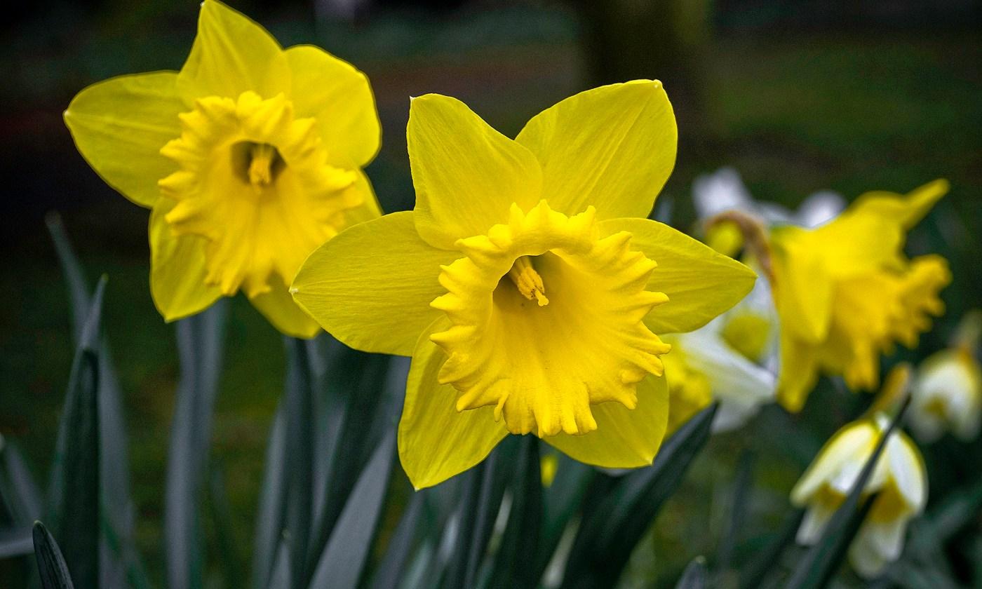 Wild Daffodil Flowers, County Durham, England