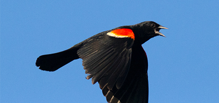 Red-winged Blackbird | EEK Wisconsin