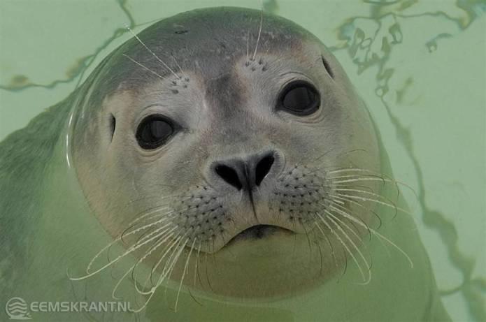 Zeehondenopvang Eemsdelta pleit voor spoedige vergunningverlening