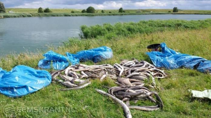 Duizenden dode palingen rondom Breebaartpolder in Termunten