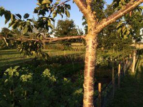 eetbos met kerselaar