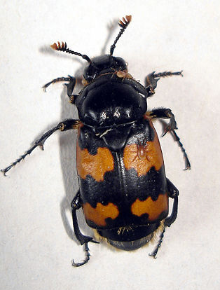 https://i1.wp.com/www.efabre.net/files/fabre/burying-beetle.jpg