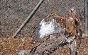 En la imagen, un ejemplar de milano real recuperado en el hospital de fauna silvestre del Grupo de Rehabilitación de la Fauna Autóctona y su Hábitat (GREFA). FOTO: Raúl Casado/EFE