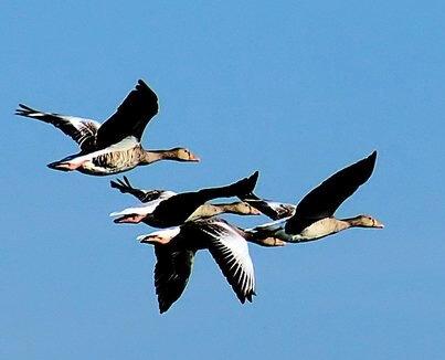 goose-1403556v2