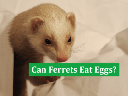 Can Ferrets Eat Eggs