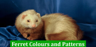 Ferret Colours and Patterns