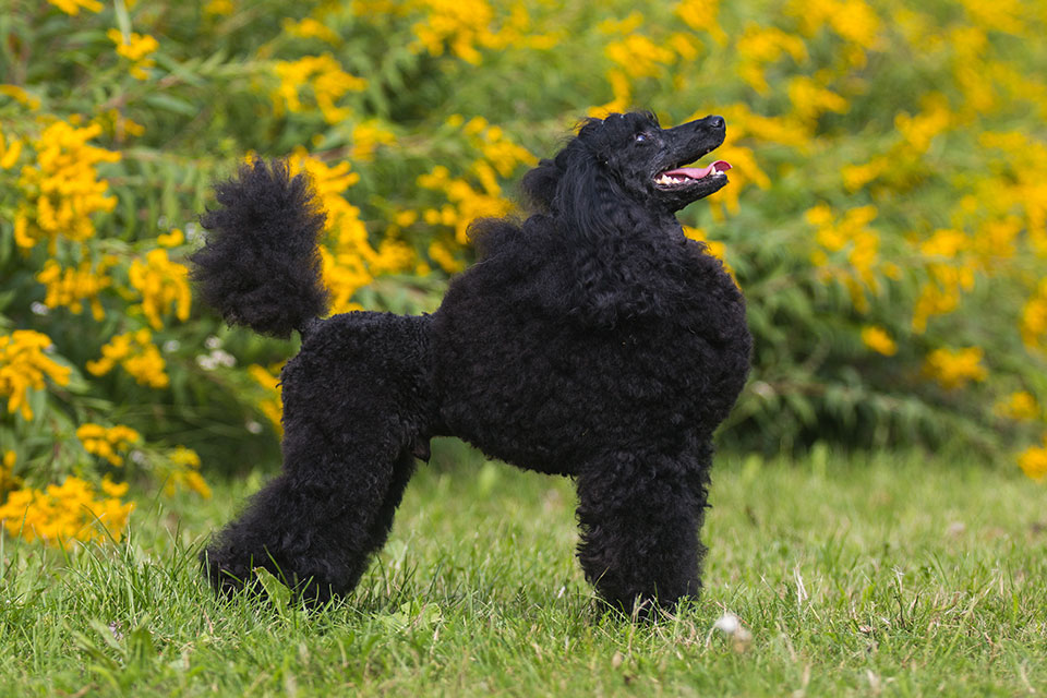 How to Care for Moyen Poodle