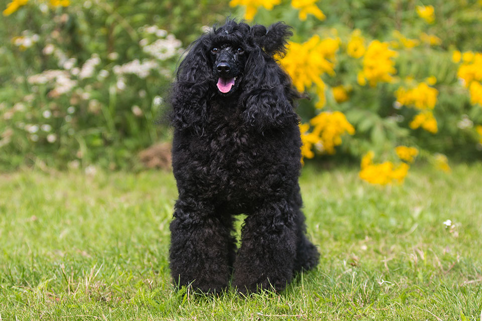 Top 15 Best Food For Moyen Poodle