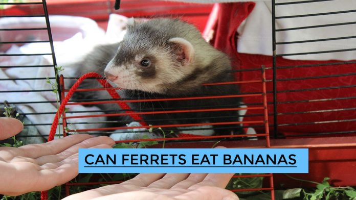 Can Ferrets Eat Bananas