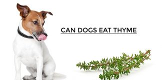 Can Dogs Eat Thyme