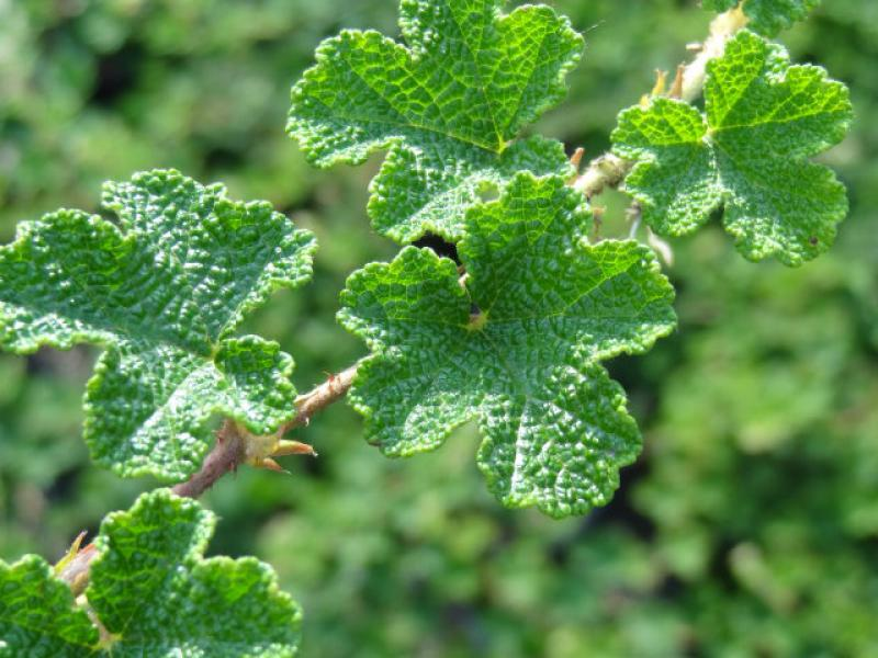 Image result for rubus pentalobus emerald carpet