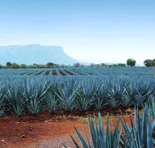 Champs d'agave au Mexique