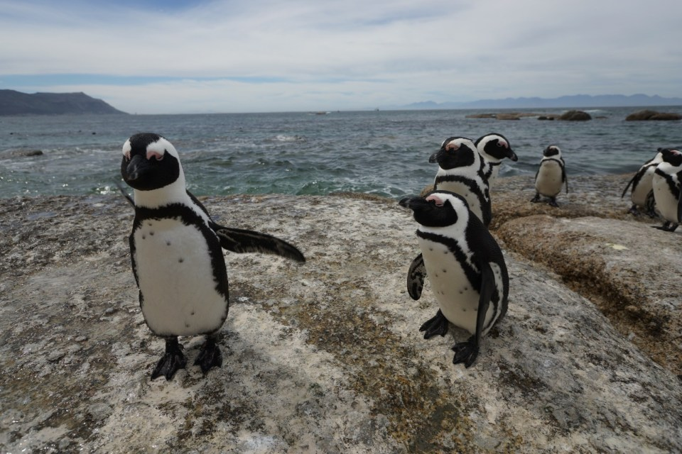 南非睇企鵝 Cape Town's Boulders Beach【Cape Epic 香港】