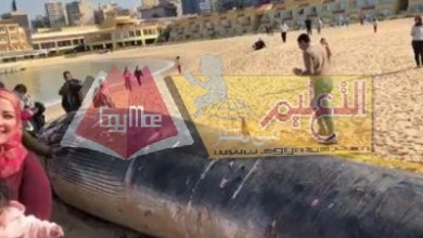 Photo of التعليم العالي : تشكيل فريق بحثي لمعاينة الحوت النافق على شاطئ سان ستيفانو بالأسكندرية