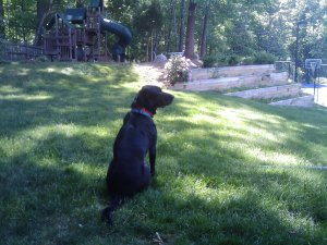 Our dog Sam (RIP) surveying our backyard