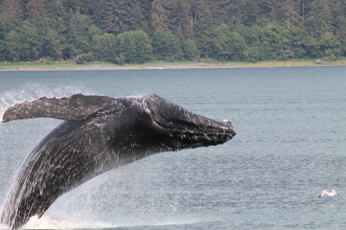 Humpback whale in AL