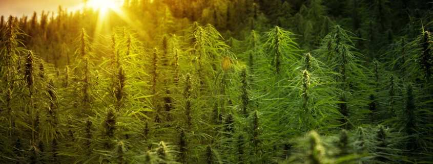 do I need cannabis insurance coverage