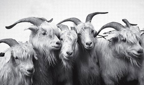 musica as ovelhas e os bodes
