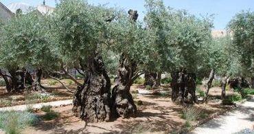 Árvores para lenha do altar do Terceiro Templo são plantadas
