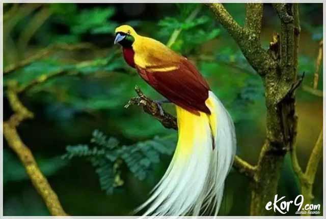 cendrawasih bird, harga cendrawasih, burung cendrawasih klasifikasi yang lebih rendah, cendrawasih raja, cendrawasih biru, burung cendrawasih merah, cenderawasih raggiana, burung cendrawasih papua, cenderawasih kuning besar, cendrawasih bali, ekor9