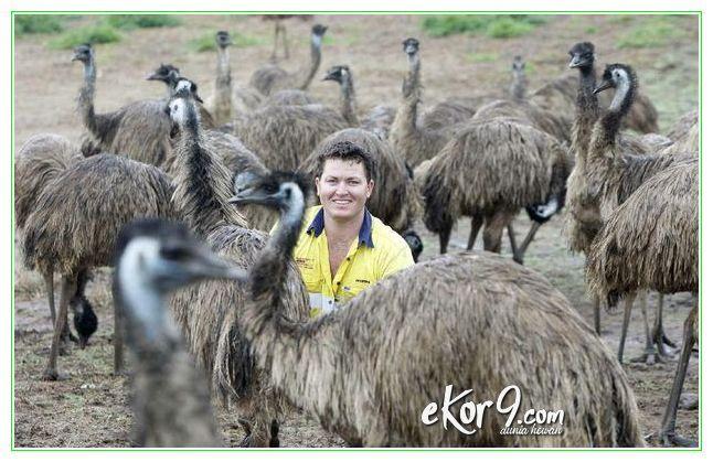 telur emu, makanan burung emu, emu egg, burung emu adalah, burung emu di australia, minyak burung emu, telur burung emu, ternak burung emu, jual minyak burung emu, gambar burung emu, jual burung emu, makanan burung emu, gambar hewan burung emu