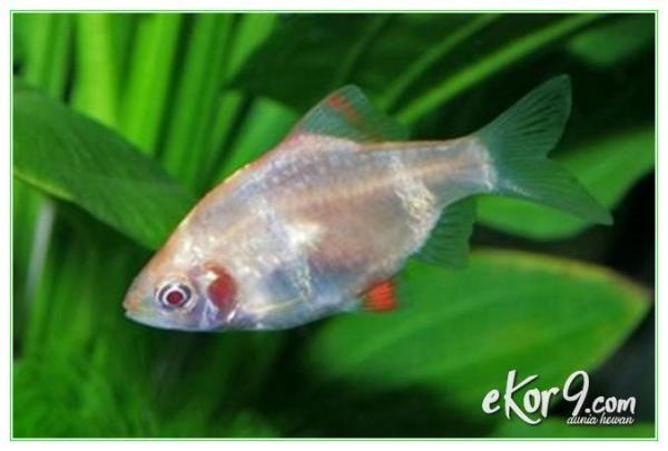 harga ikan sumatera albino, harga ikan sumatra pemakan kutu, ikan hias sumatera albino, ikan hias sumatra albino, budidaya ikan sumatra albino, budidaya ikan tiger sumatra, cara budidaya ikan sumatra albino