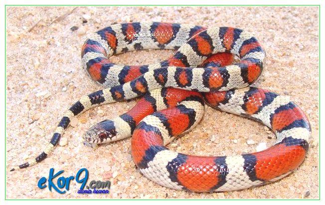 7 Jenis Ular Tercantik yang Biasa Dipelihara Pecinta Reptil
