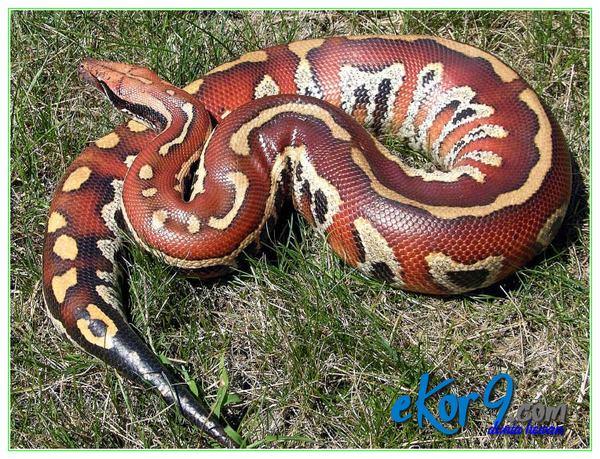 ular peliharaan terbesar, ular peliharaan terbesar di dunia, ular peliharaan tercantik, ular peliharaan termahal