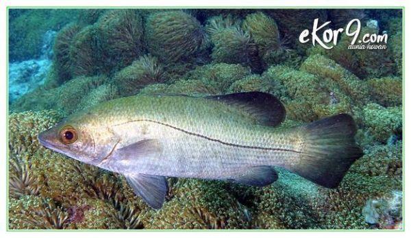 klasifikasi ikan kakap batu, foto ikan kakap batu, mancing ikan kakap batu, umpan ikan kakap batu
