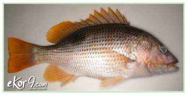 jenis ikan kakap, jenis ikan kakap air tawar, jenis ikan kakap cina, jenis ikan kakap di indonesia jenis ikan kakap laut, jenis ikan kakap putih, jenis ikan kakap sungai