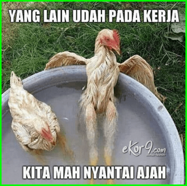 Unduh 96 Gambar Lucu Orang Naik Ayam Terupdate