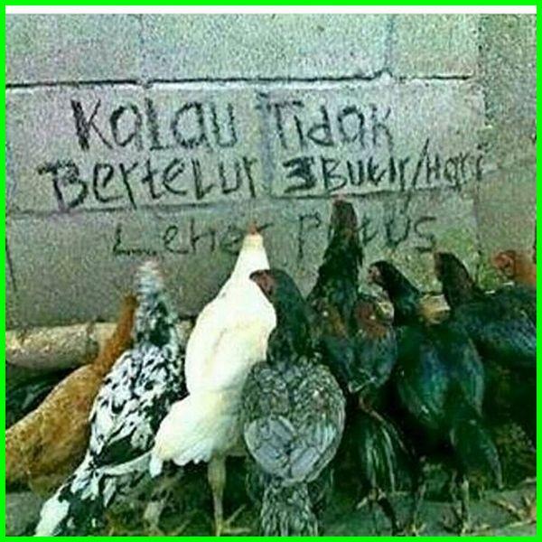 meme ayam bertelur, gambar ayam lucu dan aneh, gambar ayam lucu banget, gambar ayam lucu bbm