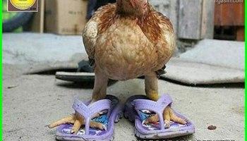 12 Meme Ayam Paling Gokil Dan Kocak Yang Bikin Ngakak Dunia Fauna Hewan Binatang Tumbuhan Dunia Fauna Hewan Binatang Tumbuhan