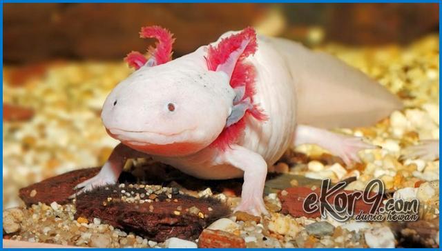 hewan axolotl salamander, jual hewan axolotl meksiko, mexico hewan axolotl, harga hewan axolotl, jual hewan axolotl, gambar hewan axolotl, foto hewan axolotl, axolotl hewan apa, axolotl adalah hewan, binatang paling eksotis, hewan eksotis adalah, hewan eksotis di indonesia, hewan eksotis dunia, hewan eksotis di papua, hewan laut eksotis, hewan piaraan eksotis, hewan eksotis termahal