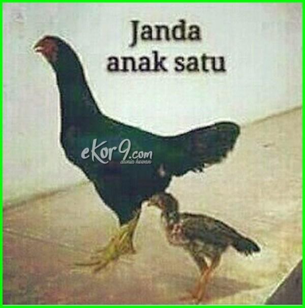 Ayam Lucu Dp Lucu Ayam Lucu Ceker Ayam