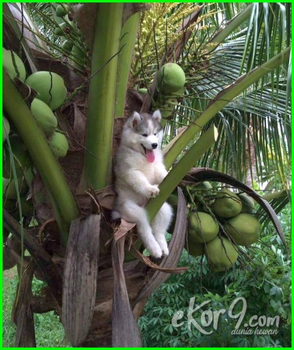 foto anjing lucu imut, anjing lucu melet, anjing lucu dan menggemaskan, anjing lucu naik pohon kelapa, wallpaper anjing lucu imut buat android, wallpaper anjing lucu buat iphone