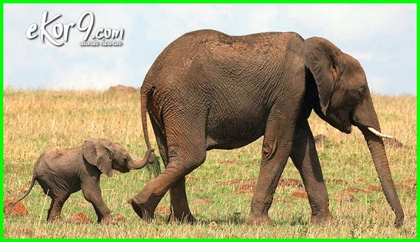 hewan yang paling lama hamil lebih dari 1 tahun