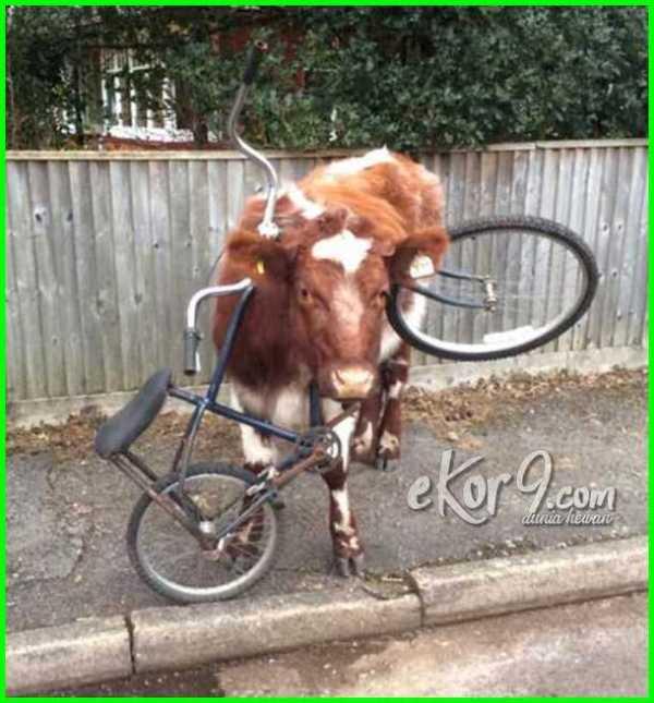 gambar sapi lucu banget, gambar sapi lucu gokil, gambar sapi lucu dan unik naik sepeda, gambar lucu bawa sapi, dp bbm gambar sapi lucu, contoh gambar sapi lucu, download gambar sapi lucu, foto gambar sapi lucu, gambar gambar sapi lucu, gambar garskin sapi lucu