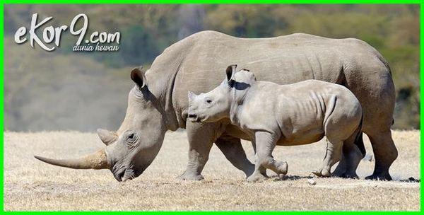 lama masa mengandung hewan, hewan yang paling lama mengandung, hewan yang mengandung lemak, hewan yg mengandung lemak, makanan yang mengandung lemak hewan, hewan yang mengandung minyak lemak, lama mengandung hewan mamalia, lama mengandung hewan menyusui