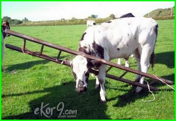 sapi, hewan lucu dan unik, hewan lucu banget
