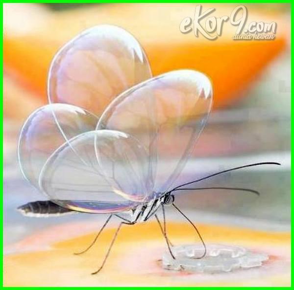 kupu transparan, kupu-kupu sayap transparan, kupu kupu bersayap transparan, kupu kupu panjang transparan, kupu kupu transparan