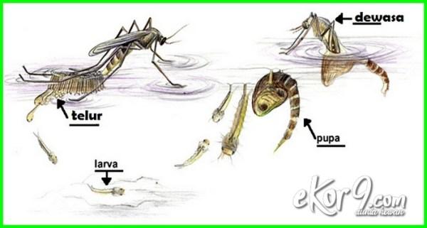 15++ Katak hewan yg mengalami metamorfosis sempurna terbaru
